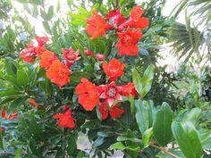 #nar #narçiçeği #narçiçeğiyağı #narçiçeğiyağıfaydaları Nar Çiçeği Yağı http://yaglar.blogspot.com.tr/2016/04/nar-cicegi-yagi.html
