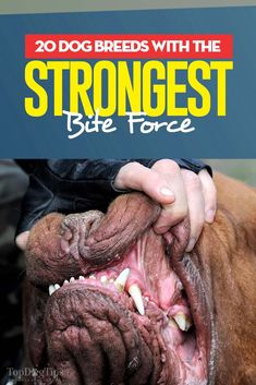 One of the factors of dog's strength is the bite force. So do we know what dog breeds have the strongest bite force? Yes, and it can be measured scientifically. The bite force of any animal is measured in Pounds per Square Inch (psi). This unit of pressure tells how much force is exerted on one square inch of space. The psi that the jaws of animals will exert is usually averaged. #dogs #breeds #strongest #bite #force #biteforce #statistics #science #psi #pets