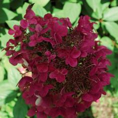 fire and ice hydrangea hydrangea paniculata wims red ppaf garden pinterest hydrangea. Black Bedroom Furniture Sets. Home Design Ideas