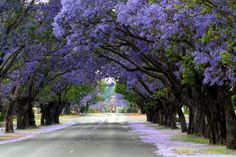 Jacarandas Walk in South Africa  http://www.pinterest.com/pin/225672631300712635/ More than one hundred years ago, least 49 species of tropical Jacaranda were imported to South Africa from their native South America and Caribbean.  They flower in October in the man-made forests of Johannsburg and Pretoria.