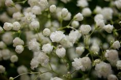 Growing baby's breath from seed will result in clouds of the delicate blooms within a year. This perennial plant is easy to grow and low maintenance. Click this article for more tips on how to plant Gypsophila, or baby's breath, from seed. Organic Mulch, Babys Breath Flowers, Compost Tea, Flower Close Up, Garden Deco, Home Garden Plants, Hardy Perennials, Gypsophila, Covent Garden