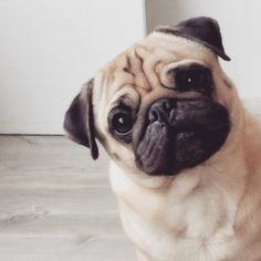 """26 Likes, 2 Comments - Serena Flagg (@twogirlsandapug) on Instagram: """"I could stare at my humans all day long ~Bertje #cutepugs #pugsarethebest #pug #pugoftheday…"""""""