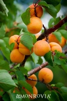 Apricot, Pioneer Chinese: Late bloomer good for cold climates and higher elevations. Zones 3-4