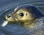 wildlife nature animal photography photograph photo print 8 x 10 8x10 Atlantic harbor seal New Jersey