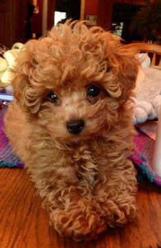 Our Adorable Poodle Puppy