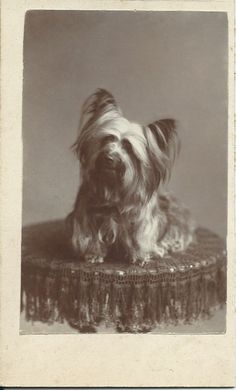 c.1870s cdv of Skye terrier sitting on table draped with fringed lace. No photographer or dog identification. From bendale collection