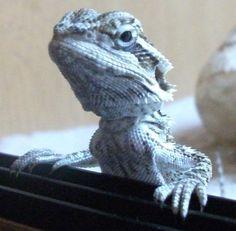 blue bearded dragon - Google Search