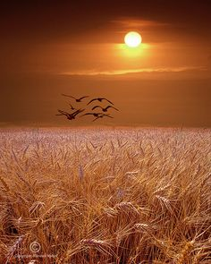 photo by Randy Nyhof Fine Art Photography - Available at www.etsy.com/listing/67909735/photograph-of-gulls-flying-over-a-wheat