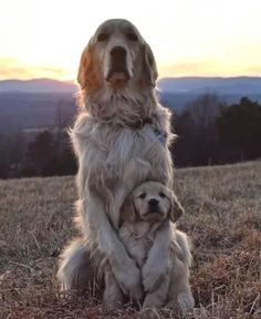 """Golden Retrievers on Instagram: """"Daily Retriever, 6.23.19 📰 Thanks to: @goldenretriever_lilly Use #retrievers_ig in your pictures to be featured Tag your friends!! ⤵️"""""""