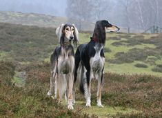 Big Dogs, Cute Dogs, Dog Search, Afghan Hound, Majestic Animals, Dog Photography, Beautiful Dogs, Beautiful Creatures, Pet Birds