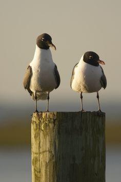 Photo courtesy of Camerondavidson@camerondavidson.com. Shore birds of Virginia's Eastern Shore.