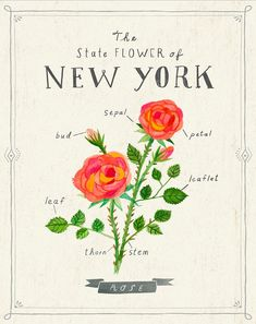 The Rose, proud flower of New York State. I grew up in Albany, New York so this flower has a special place in my heart. One in a series of our State Cello, Missouri, Kansas State Flower, Apple Festival, Lilla Rogers, Spring Wildflowers, Black Eyed Susan, Nyc, Illustrations