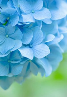 New Wallpaper Flores Vintage Blue Ideas Hortensia Hydrangea, Hydrangea Garden, Blue Hydrangea, Hydrangeas, New Wallpaper, Flower Wallpaper, Wild Flowers, Beautiful Flowers, Cool Wallpapers For Phones
