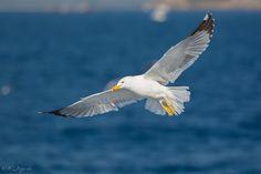Gaviota patiamarilla / Yellow-legged gull / Larus michahellis