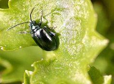 Les Altises, ou sous-famille des Alticinae, sont des insectes sauteurs de l'ordre des Coléoptères et de la famille des Chrysomélidés (souvent classés dans la sous-famille des Galerucinae en tant que tribu Alticini). Ils sont prédateurs de nombreuses cultures. Ils ont les pattes arrière très développées et sautent lorsqu'ils sont dérangés. Leur nom, qui date du xviiie siècle, (h)altica, provient du grec haltikos, « habile à sauter ».
