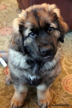 Leonbergers... my new obsession