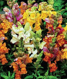 """Snapdragon, Tutti Frutti. Fun color, great for cutting too."""
