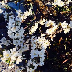Pruimenbloesem in maart! #wit