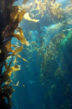 Kelp Forest | by thelivingdead531