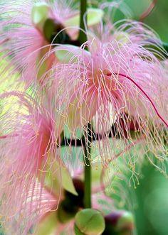 サガリバナ/Barringtonia racemosa Weird Plants, Unusual Plants, Rare Plants, Exotic Plants, Cool Plants, Tropical Plants, Unusual Flowers, Pink Flowers, Beautiful Flowers
