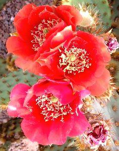 Prickly pear cactus spring blossom