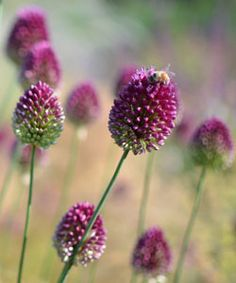 Allium sphaerocephalon - Kugel-Lauch