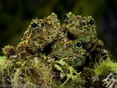 Theloderma corticale, Vietnamese Mossy Frog