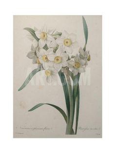 Narcisses Art Print by Pierre-Joseph Redoute at Art.com