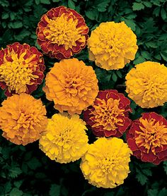 Not necessarily my favorite flower, but thinking of planting some marigolds near the play set to discourage mosquitos.