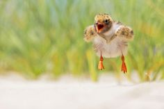 Lisa Franceski has spent eight years shadowing shorebird families at her local beach. Here, she offers her advice for catching intimate shots.