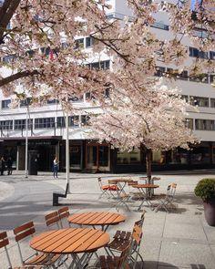 """Kirsebærtrær på St. Olavs Plass, Oslo. #ackarkitekter #kirsebærtre #brostein #steinheller"""""""