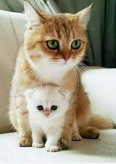 Ginger mommy with baby marshmallow Pet Accessories, Dog Toys, Cat Toys, Pet Tric. - Baby animals with their mother - Chat Kittens And Puppies, Cute Cats And Kittens, Kittens Cutest, I Love Cats, Kitty Cats, Siamese Cats, Cute Baby Animals, Animals And Pets, Funny Animals