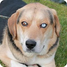 Garfield Heights, OH - Beagle/German Shepherd Dog Mix. Meet Burton, a dog for adoption. http://www.adoptapet.com/pet/12182926-garfield-heights-ohio-beagle-mix