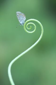 Butterfly on a curly thing. #Simple, #but #awesome. ;3                                                                                                                                                     More