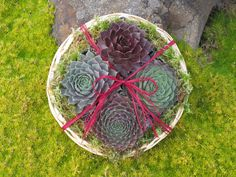 """Small Gift Basket GB-5004 Our small gift basket has 4 assorted sempervivums (hens and chicks) in an 8"""" willow basket. They are sun loving plants that are very easy to care for. All of our succulents are hardy to zone 3. Planting and care instructions are included. https://www.simplysucculents.com/online-store/products/239"""