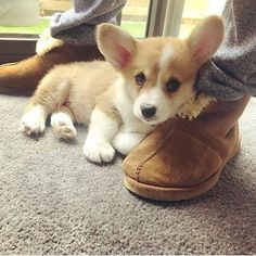 This pretty pomeranian puppy will warm your heart. Dogs are incredible creatures. Cute Corgi Puppy, Pomeranian Puppy, Corgi Dog, Cute Puppies, Cute Dogs, Baby Corgi, Puppies And Kitties, Teacup Puppies, Cute Funny Animals