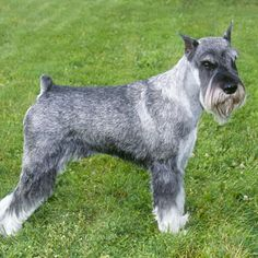 Ranked as one of the most popular dog breeds in the world, the Miniature Schnauzer is a cute little square faced furry coat. Schnauzers, Schnauzer Breed, Schnauzer Grooming, Standard Schnauzer, Giant Schnauzer, Miniature Schnauzer Black, Miniature Dog Breeds, Schnauzer Gigante, Black Standard Poodle