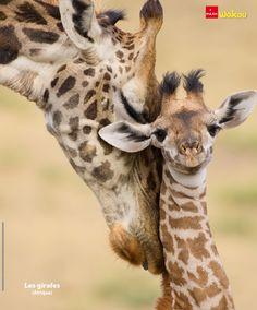 Poster Wkou avril 2015 Photo : Mary McDonald/NaturePL. #girafes