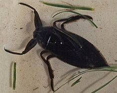Giant Water Bug (also known as the Toe-Biter and the Electric Light Bug)  Not dangerous to humans but do have a painful bite. My dog was surprised on our walk tonight by one that was around 2 1/2 inches long! It wasn't happy to see us.