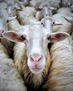 111 Best Animals: Goats and Sheep images in 2019 | Cutest animals