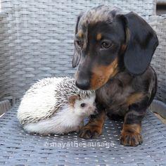 Silver dapple miniature dachshund and african pygmy hedgehog