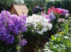 Флоксы - как прекрасны и изменчивы эти цветы. Garden Plants, Flower Designs, Vegetables, Gardening, House, Hummingbirds, Ideas, Home, Lawn And Garden