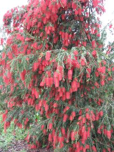 Weeping bottle brush tree - I want one of these, the are beautiful and the…