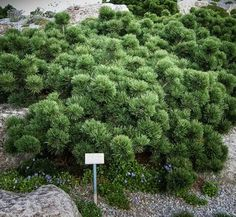 Unexpected groundcovers: Pinus mugo 'Bubikopf'