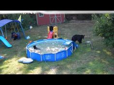 VIDEO: Mama bear, 5 cubs beat the heat in New Jersey family's pool Backyard Pool Parties, Swimming Pools Backyard, Backyard Play, Mother Bears, Family Pool, Momma Bear, Beat The Heat, Bear Cubs, Cool Pools