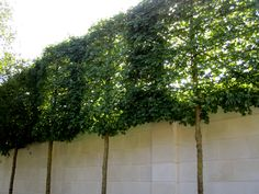 Privacy espaliered trees