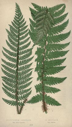 n171_w1150 - Our native ferns, or, A history of the British species and their varieties /. London :Groombridge,1865-1867..
