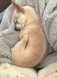 Ahh Chihuahua makin Seepies⭐