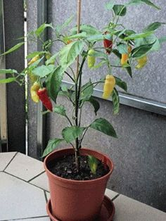 Capsicum baccatum parvekkeella