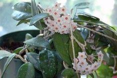 Hoya carnosa, Fiore di cera – la coltivazione e le cure